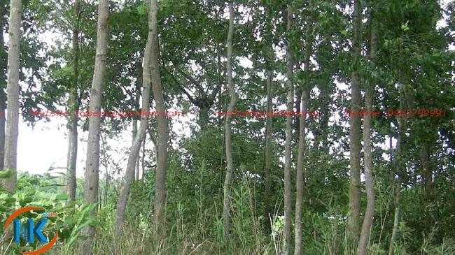 Cây gỗ dổi tự nhiên