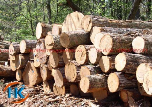 Cây gỗ dổi khi thu hoạch cho giá trị kinh tế cao