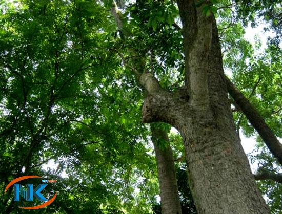Cây gỗ giáng hương ngoài tự nhiên