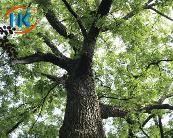 Hình ảnh cây gỗ óc chó trong tự nhiên